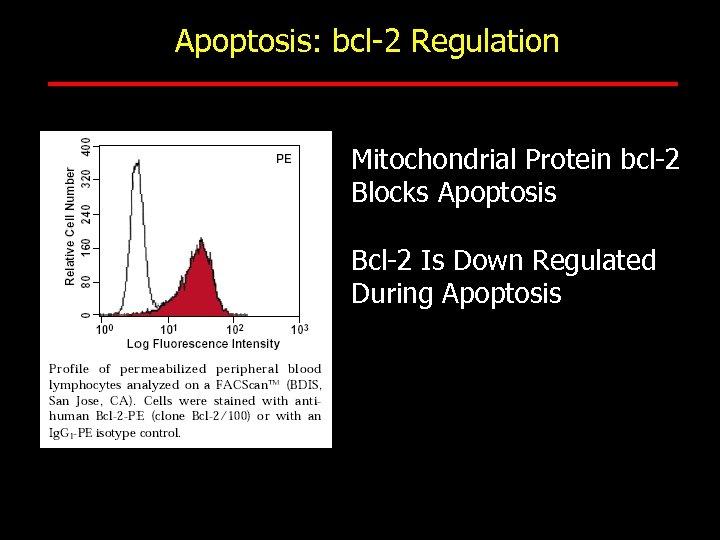 Apoptosis: bcl-2 Regulation Mitochondrial Protein bcl-2 Blocks Apoptosis Bcl-2 Is Down Regulated During Apoptosis