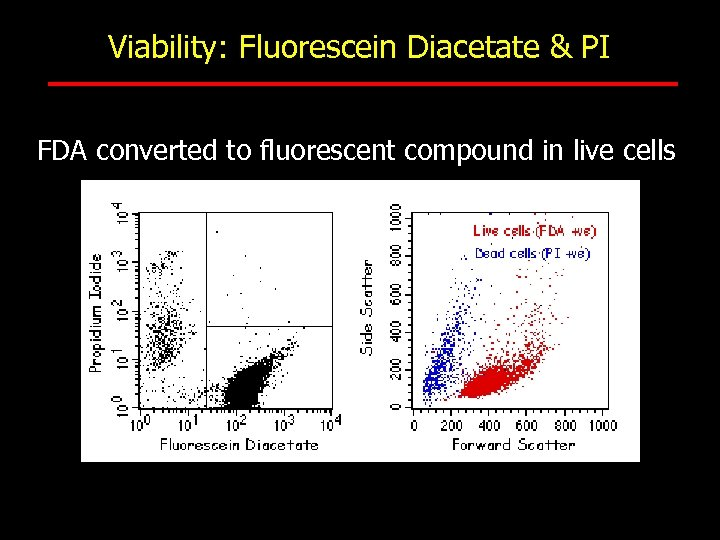 Viability: Fluorescein Diacetate & PI FDA converted to fluorescent compound in live cells