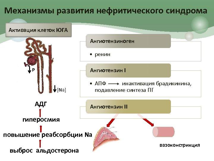 Механизмы развития нефритического синдрома Активация клеток ЮГА Ангиотензиноген • ренин Р Ангиотензин I [Na]