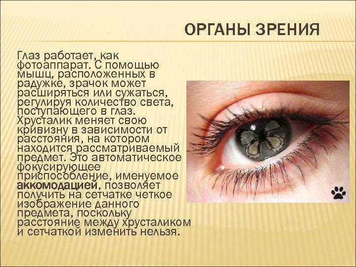 ОРГАНЫ ЗРЕНИЯ Глаз работает, как фотоаппарат. С помощью мышц, расположенных в радужке, зрачок может
