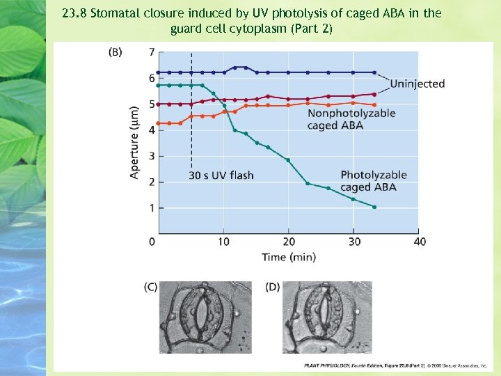 23. 8 Stomatal closure induced by UV photolysis of caged ABA in the guard