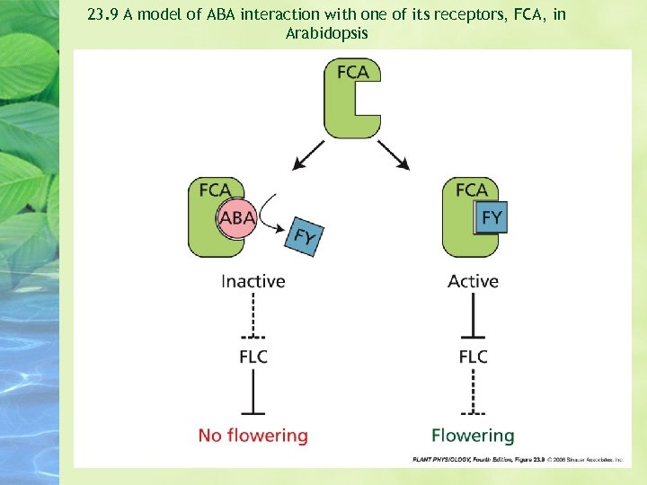23. 9 A model of ABA interaction with one of its receptors, FCA, in