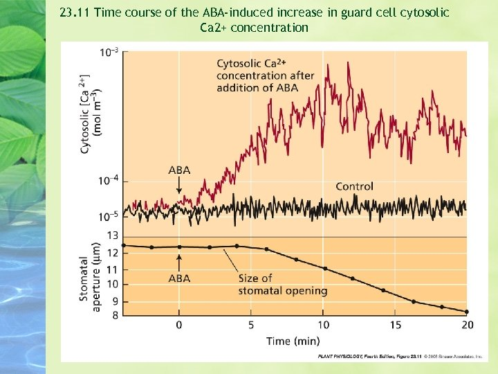 23. 11 Time course of the ABA-induced increase in guard cell cytosolic Ca 2+