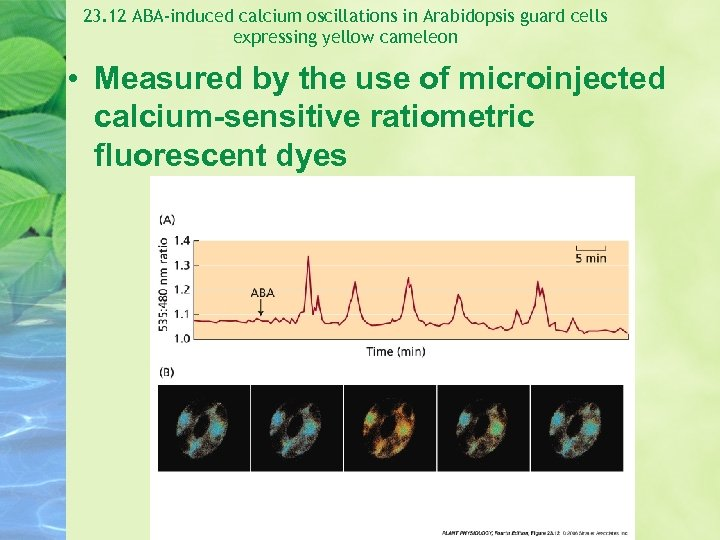 23. 12 ABA-induced calcium oscillations in Arabidopsis guard cells expressing yellow cameleon • Measured