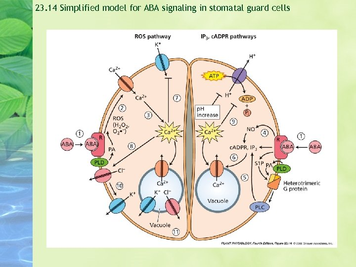 23. 14 Simplified model for ABA signaling in stomatal guard cells