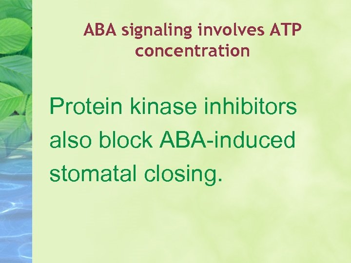 ABA signaling involves ATP concentration Protein kinase inhibitors also block ABA-induced stomatal closing.