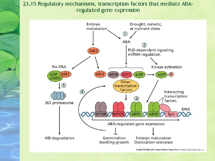 23. 15 Regulatory mechanisms, transcription factors that mediate ABAregulated gene expression