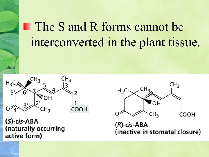 The S and R forms cannot be interconverted in the plant tissue.