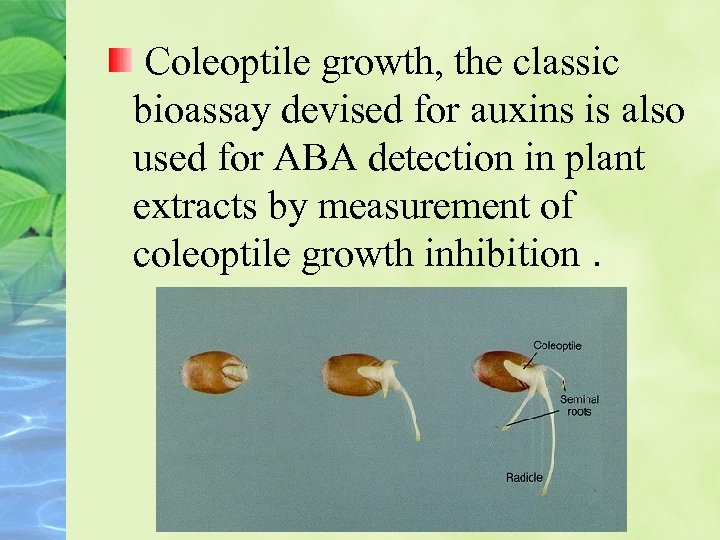 Coleoptile growth, the classic bioassay devised for auxins is also used for ABA detection