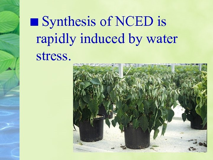 Synthesis of NCED is rapidly induced by water stress.