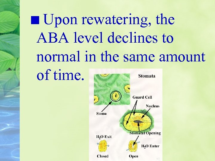 Upon rewatering, the ABA level declines to normal in the same amount of time.