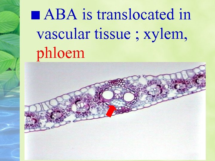 ABA is translocated in vascular tissue ; xylem, phloem