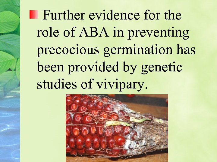 Further evidence for the role of ABA in preventing precocious germination has been provided