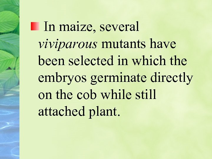In maize, several viviparous mutants have been selected in which the embryos germinate directly