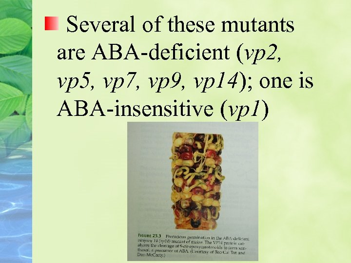 Several of these mutants are ABA-deficient (vp 2, vp 5, vp 7, vp 9,
