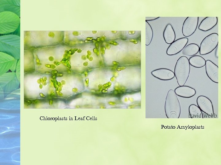 Chloroplasts in Leaf Cells Potato Amyloplasts