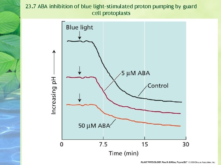 23. 7 ABA inhibition of blue light–stimulated proton pumping by guard cell protoplasts