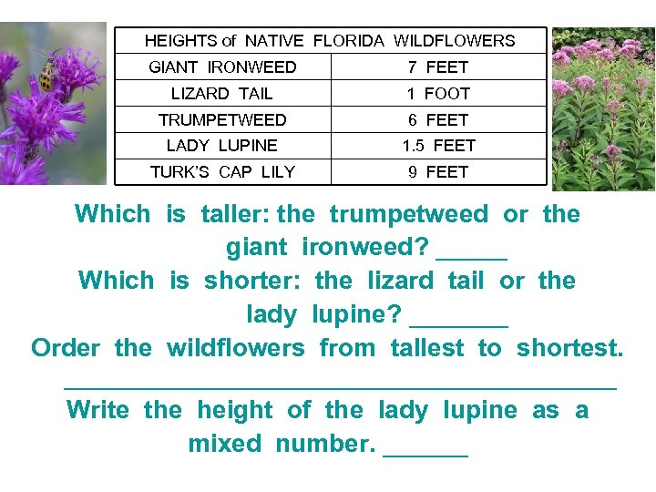 HEIGHTS of NATIVE FLORIDA WILDFLOWERS GIANT IRONWEED 7 FEET LIZARD TAIL 1 FOOT TRUMPETWEED