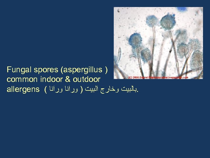 Fungal spores (aspergillus ) common indoor & outdoor allergens ( . ﺑﺎﻟﺒﻴﺖ ﻭﺧﺎﺭﺝ ﺍﻟﺒﻴﺖ