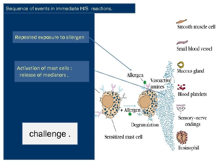 Sequence of events in immediate H/S reactions. Repeated exposure to allergen Activation of mast
