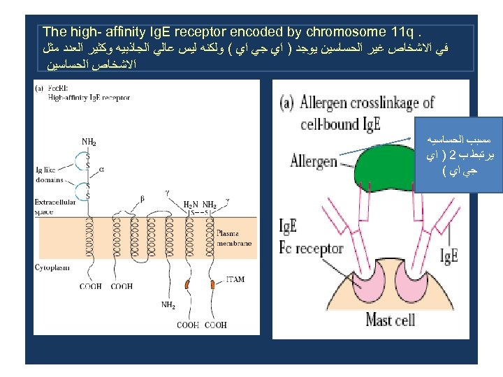 . The high- affinity Ig. E receptor encoded by chromosome 11 q ﻓﻲ ﺍﻻﺷﺨﺎﺹ