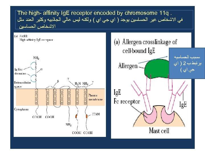 . The high- affinity Ig. E receptor encoded by chromosome 11 q ﻓﻲ ﺍﻻﺷﺨﺎﺹ