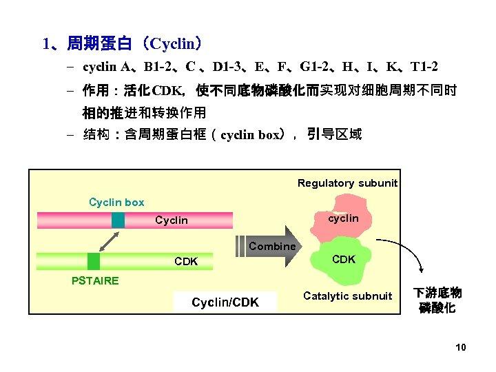 1、周期蛋白(Cyclin) – cyclin A、B 1 -2、C 、D 1 -3、E、F、G 1 -2、H、I、K、T 1 -2 –