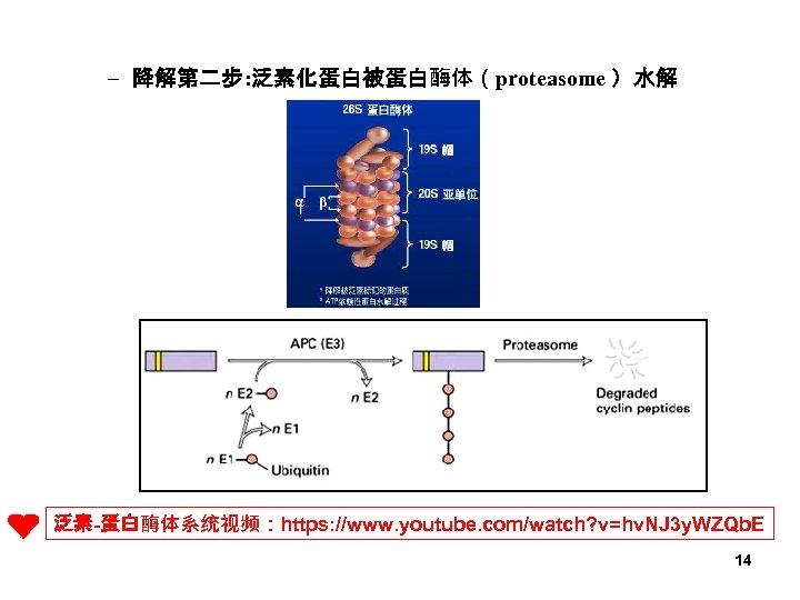 – 降解第二步: 泛素化蛋白被蛋白酶体(proteasome )水解 泛素-蛋白酶体系统视频:https: //www. youtube. com/watch? v=hv. NJ 3 y. WZQb. E