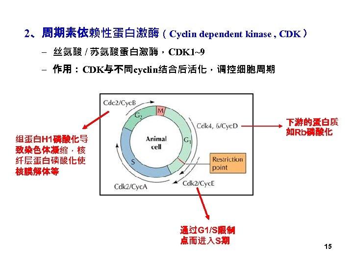 2、周期素依赖性蛋白激酶(Cyclin dependent kinase , CDK ) – 丝氨酸 / 苏氨酸蛋白激酶,CDK 1~9 – 作用:CDK与不同cyclin结合后活化,调控细胞周期 下游的蛋白质