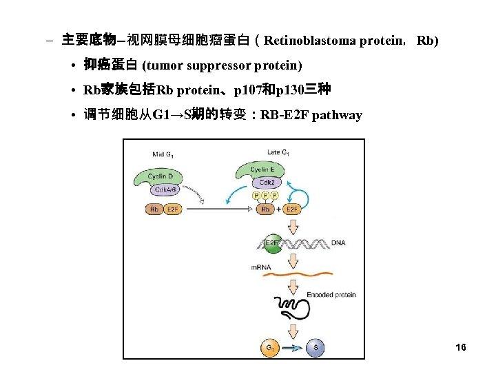 – 主要底物--视网膜母细胞瘤蛋白(Retinoblastoma protein,Rb) • 抑癌蛋白 (tumor suppressor protein) • Rb家族包括Rb protein、p 107和p 130三种 •