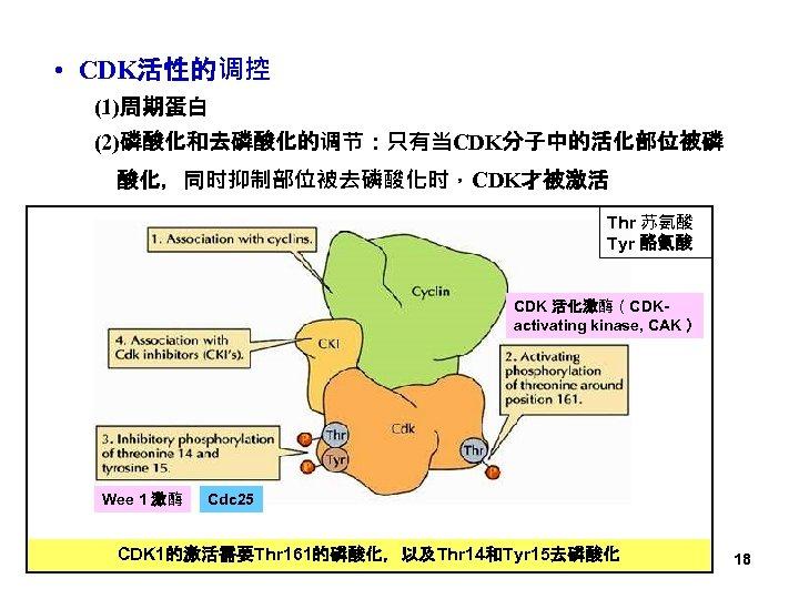 • CDK活性的调控 (1)周期蛋白 (2)磷酸化和去磷酸化的调节:只有当CDK分子中的活化部位被磷 酸化,同时抑制部位被去磷酸化时,CDK才被激活 Thr 苏氨酸 Tyr 酪氨酸 CDK 活化激酶(CDKactivating kinase, CAK