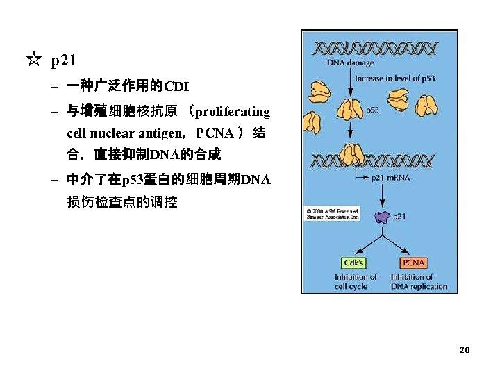 ☆ p 21 – 一种广泛作用的CDI – 与增殖细胞核抗原 (proliferating cell nuclear antigen,PCNA )结 合,直接抑制DNA的合成 –