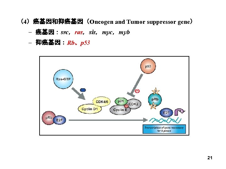 (4)癌基因和抑癌基因(Oncogen and Tumor suppressor gene) – 癌基因:src,ras,sis,myc,myb – 抑癌基因:Rb、p 53 21
