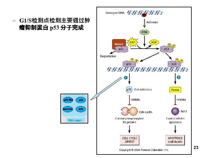 – G 1/S检测点检测主要通过肿 瘤抑制蛋白 p 53 分子完成 23