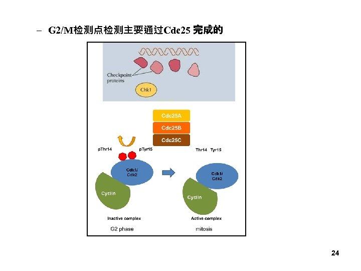 – G 2/M检测点检测主要通过Cdc 25 完成的 24
