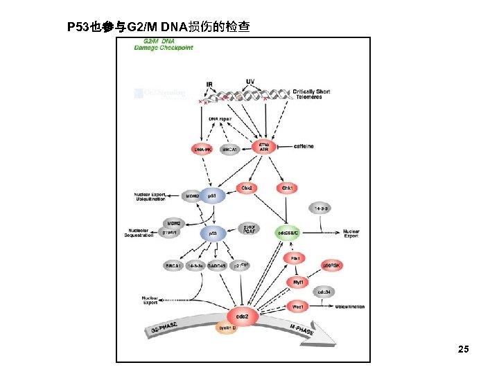 P 53也参与G 2/M DNA损伤的检查 25