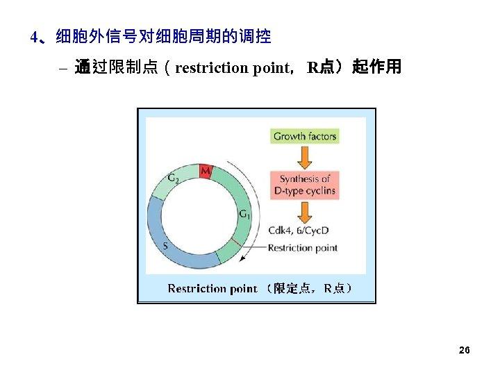 4、细胞外信号对细胞周期的调控 – 通过限制点(restriction point,R点)起作用 26