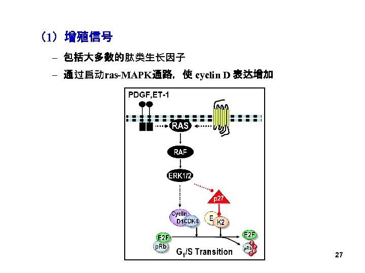 (1)增殖信号 – 包括大多数的肽类生长因子 – 通过启动ras-MAPK通路,使 cyclin D 表达增加 27
