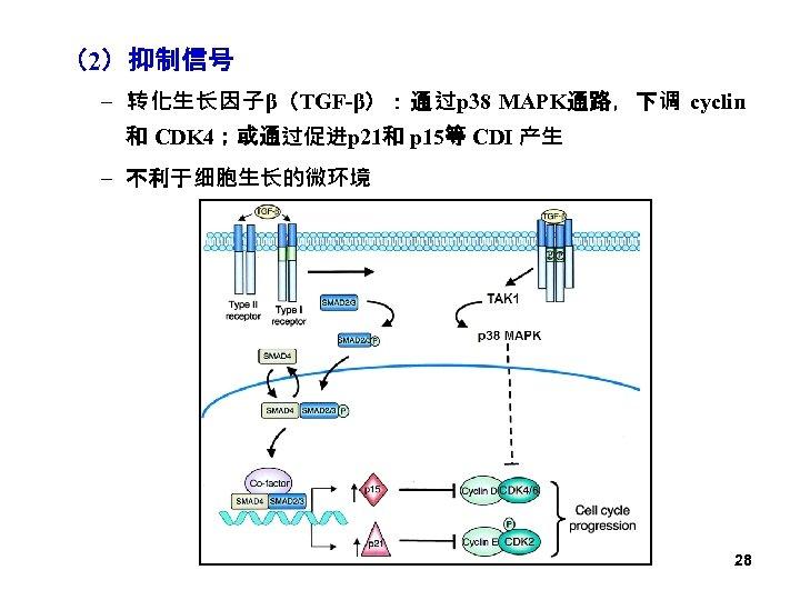 (2)抑制信号 – 转化生长因子β(TGF-β):通过p 38 MAPK通路,下调 cyclin 和 CDK 4;或通过促进p 21和 p 15等 CDI 产生
