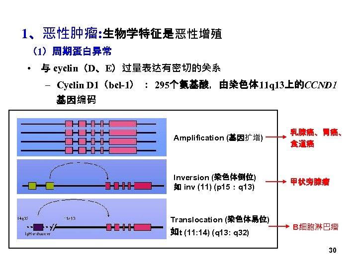 1、恶性肿瘤: 生物学特征是恶性增殖 (1)周期蛋白异常 • 与 cyclin(D、E)过量表达有密切的关系 – Cyclin D 1(bcl-1) : 295个氨基酸,由染色体 11 q