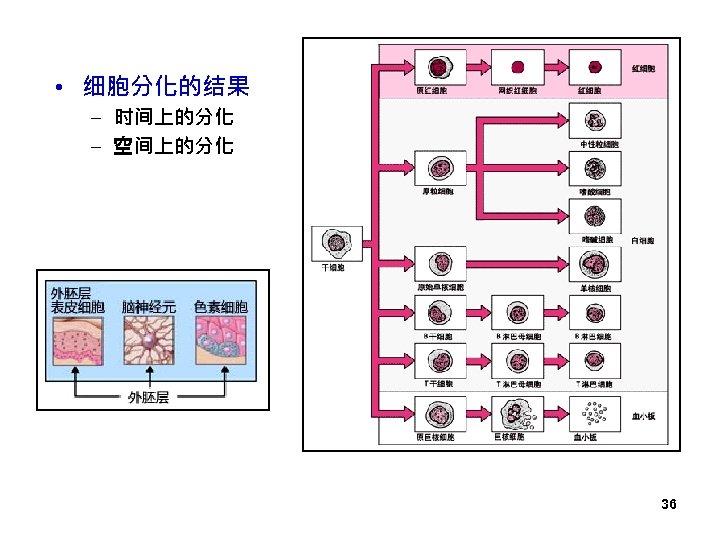 • 细胞分化的结果 – 时间上的分化 – 空间上的分化 36