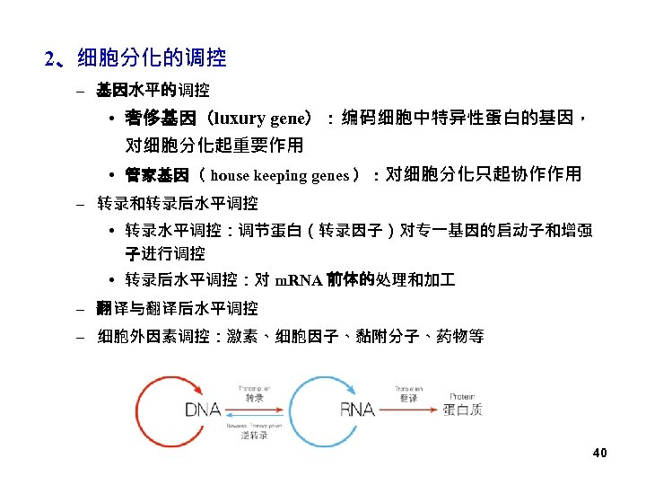 2、细胞分化的调控 – 基因水平的调控 • 奢侈基因(luxury gene):编码细胞中特异性蛋白的基因, 对细胞分化起重要作用 • 管家基因( house keeping genes ):对细胞分化只起协作作用 –