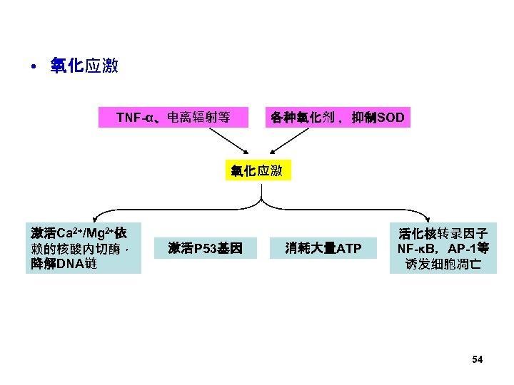 • 氧化应激 TNF-α、电离辐射等 各种氧化剂 ,抑制SOD 氧化应激 激活Ca 2+/Mg 2+依 赖的核酸内切酶, 降解DNA链 激活P 53基因