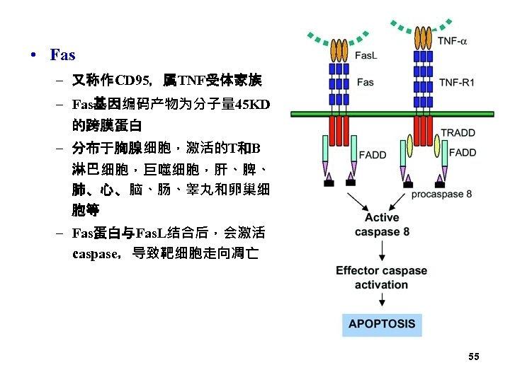 • Fas – 又称作CD 95,属TNF受体家族 – Fas基因编码产物为分子量 45 KD 的跨膜蛋白 – 分布于胸腺细胞,激活的T和B 淋巴细胞,巨噬细胞,肝、脾、