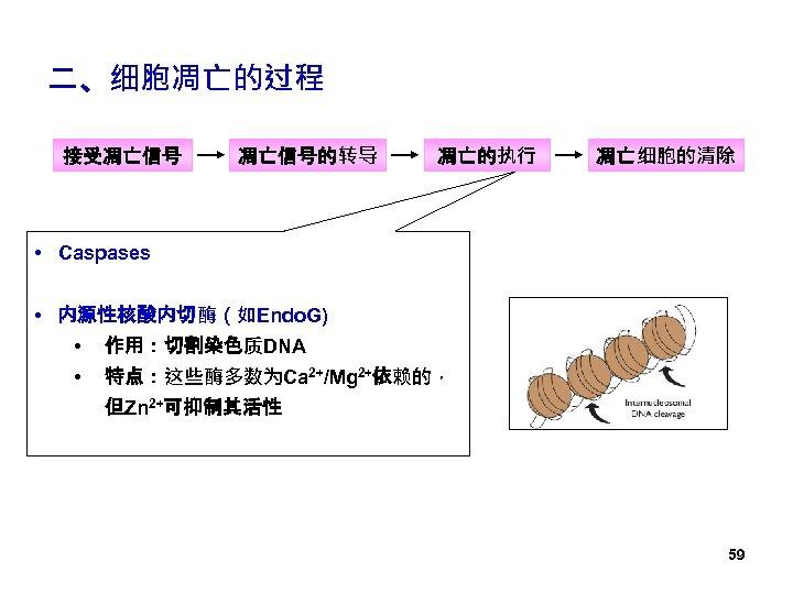 二、细胞凋亡的过程 接受凋亡信号的转导 凋亡的执行 凋亡细胞的清除 • Caspases • 内源性核酸内切酶(如Endo. G) • 作用:切割染色质DNA • 特点:这些酶多数为Ca 2+/Mg