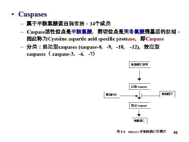 • Caspases – 属于半胱氨酸蛋白酶家族,14个成员 – Caspase活性位点是半胱氨酸,剪切位点是天冬氨酸残基后的肽键, 因此称为Cysteine aspartic acid specific protease,即Caspase – 分类:启动型caspases