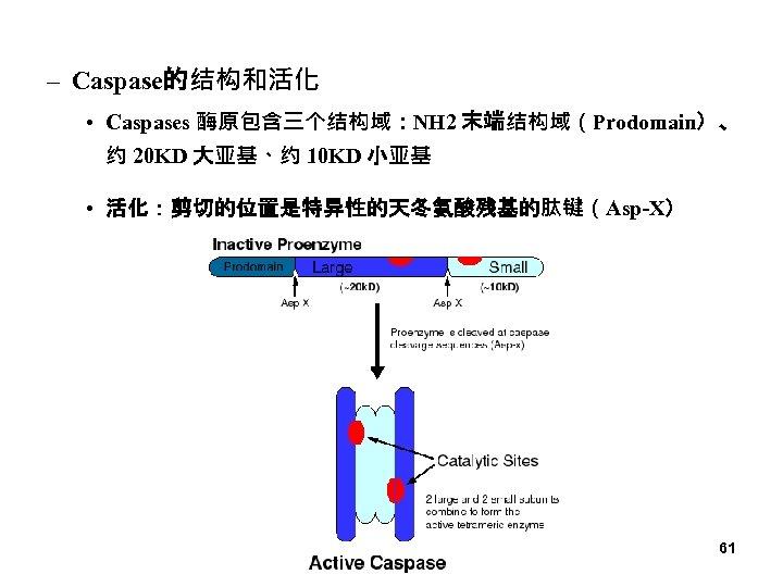 – Caspase的结构和活化 • Caspases 酶原包含三个结构域:NH 2 末端结构域(Prodomain)、 约 20 KD 大亚基、约 10 KD 小亚基