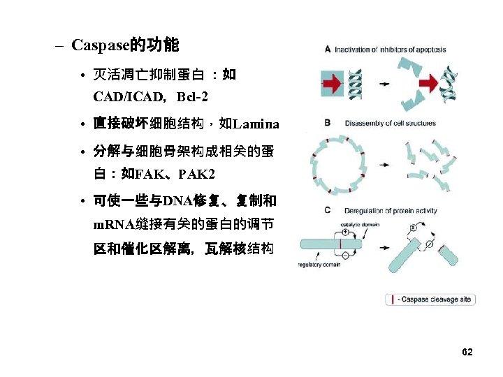 – Caspase的功能 • 灭活凋亡抑制蛋白 :如 CAD/ICAD,Bcl-2 • 直接破坏细胞结构,如Lamina • 分解与细胞骨架构成相关的蛋 白:如FAK、PAK 2 • 可使一些与DNA修复、复制和