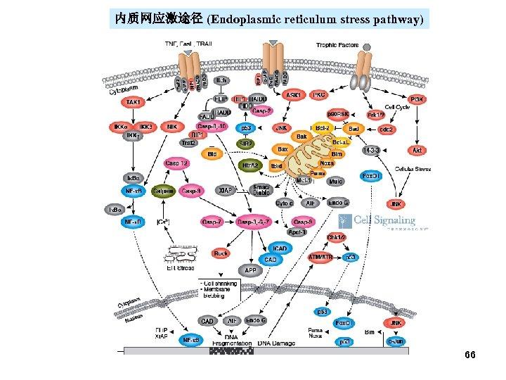 内质网应激途径 (Endoplasmic reticulum stress pathway) 66