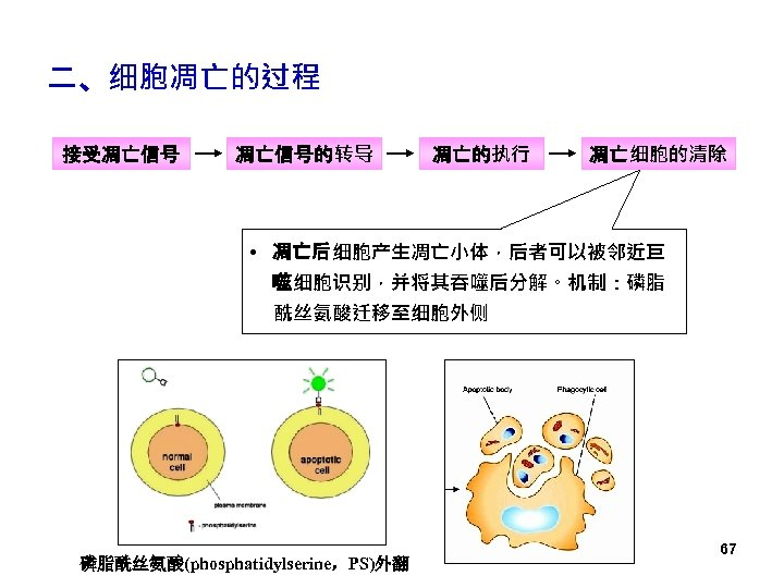 二、细胞凋亡的过程 接受凋亡信号的转导 凋亡的执行 凋亡细胞的清除 • 凋亡后细胞产生凋亡小体,后者可以被邻近巨 噬细胞识别,并将其吞噬后分解。机制:磷脂 酰丝氨酸迁移至细胞外侧 磷脂酰丝氨酸(phosphatidylserine,PS)外翻 67